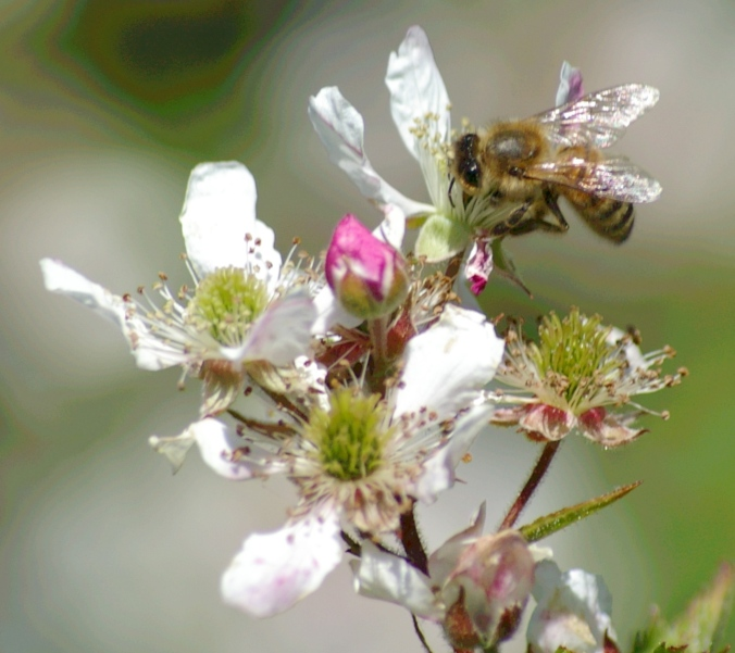 honeybee on blackberry blossom