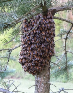 Moving right along:  a couple of days later the bees relocated to a blue spruce and nestled under the branches.