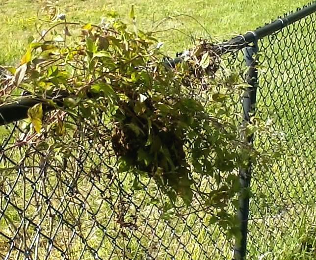 Not a great photo - it was snapped with a dumbphone - but the bees relocated to a clematis vine near the house.  My husband expressed some concern about this location.